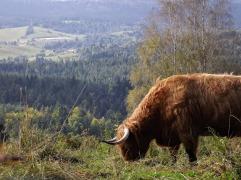 Bieszczadzka krowa
