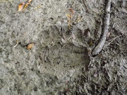 odcisk łapy bieszczadzkiego niedźwiedzia